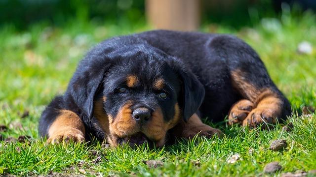 Quelles sont les caractéristiques du Rottweiler ?
